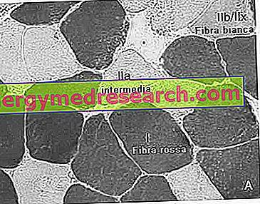 Specializuoti tarpinius raumenų pluoštus