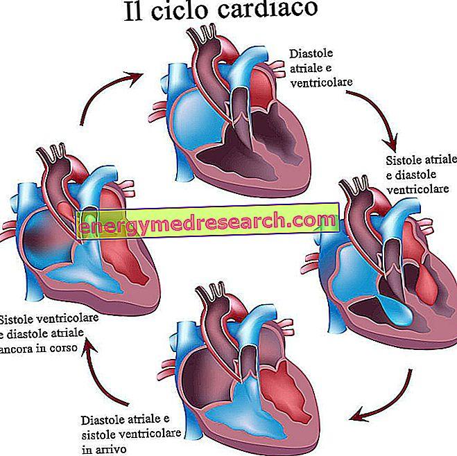 De hartcyclus: systole en diastole