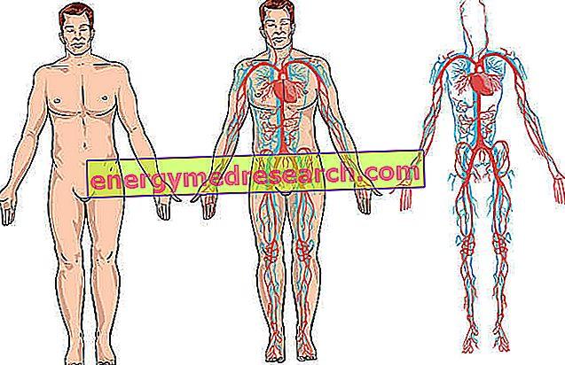 venele majore ale corpului