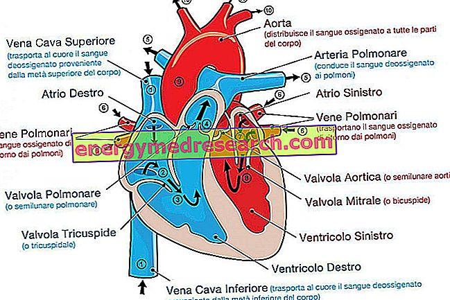 Enkele curiositeiten over de anatomie van het hart