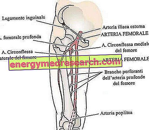 Šlaunies arterija