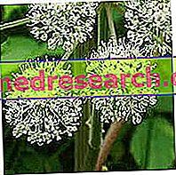 Angelica - botānikas apraksts un ķīmiskais sastāvs