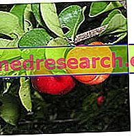 Acerola savybės - fitoterapija