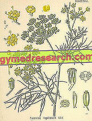 Foeniculum vulgare - Fenheļa: ārstnieciskas īpašības