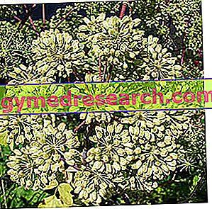 アンジェリカ - 好奇心と植物療法
