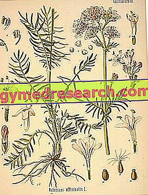 Valeriana officinalis - Valeriana: ljekovita svojstva