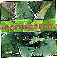 मुसब्बर वेरा - वानस्पतिक विवरण और संरचना