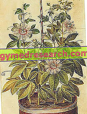 Passiflora Incarnata - Passiflora: medicinska egenskaper