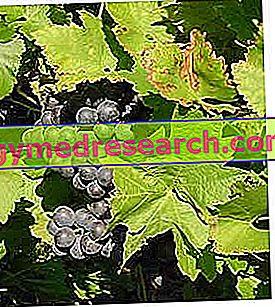 Živi in grozdje