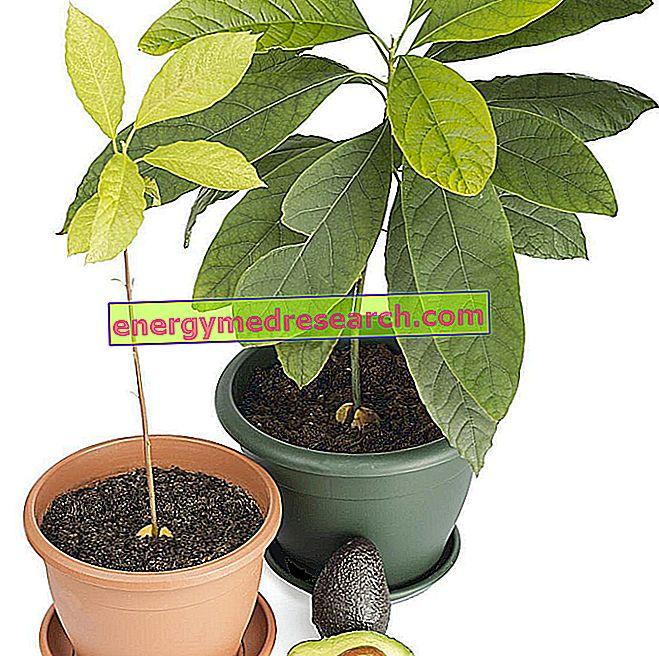 Cultivați Avocado în casă