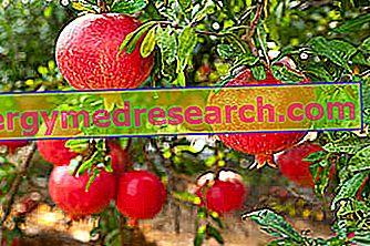 Granátové jablko: Výživové vlastnosti a použitie ovocia, prospešné vlastnosti a toxicita R.Borgacciho