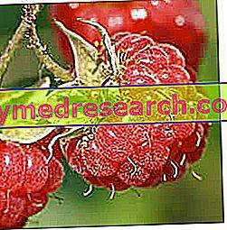 Frambuesas - Generalidades y características nutricionales