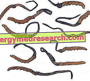 Yarsagumba - Ophiocordyceps sinensis