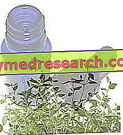 Thyme: the therapeutic spice