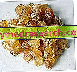 Arabica gumi
