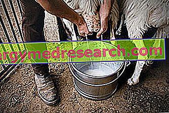 Juh tej: táplálkozási tulajdonságok, szerepe az étrendben és R.Borgacci főzési körvonala