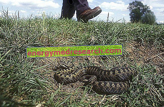 Viper uhryzne: čo robiť, aby sa tomu zabránilo