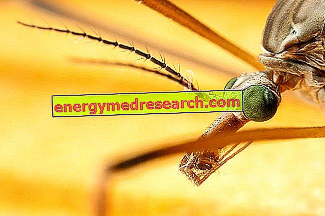 Chikungunya: kiedy po raz pierwszy zaobserwowano?
