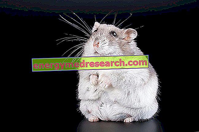 Diglyceridacyltransferas och fettvävnad