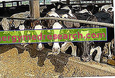 Antibiootikumid söödas ja lihas