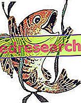 Ikan budidaya atau ikan liar?