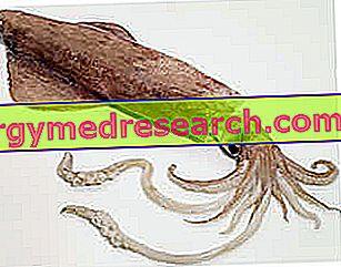 Calamar. Compoziția, proprietățile utile și modul de mâncare a calmarului - Bauturile June
