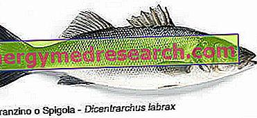 Sea bass or sea bass