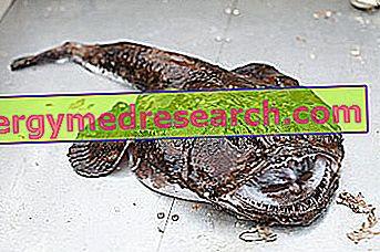 Monkfish  -  Monkfish:栄養成分、食事での使用、およびR.Borgacciによる調理方法