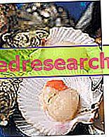 Canestrelli - Mořské hřebeny