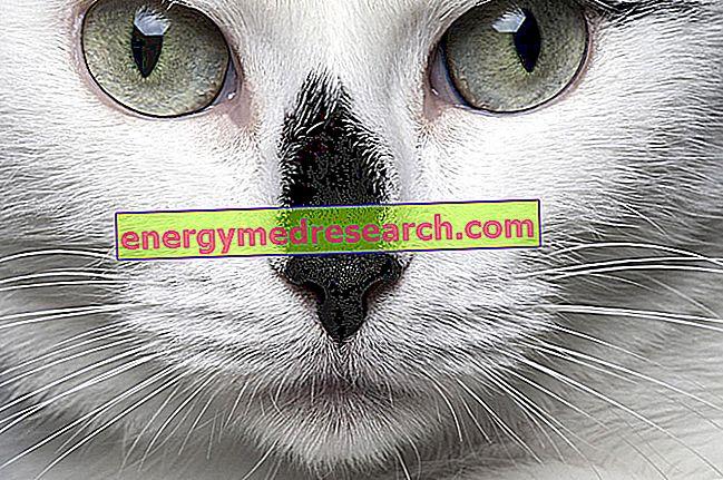 飼い猫も斜視に苦しむことができます