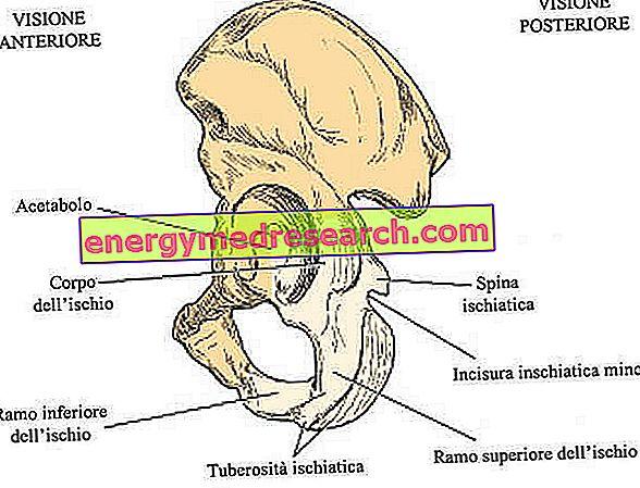 ischium