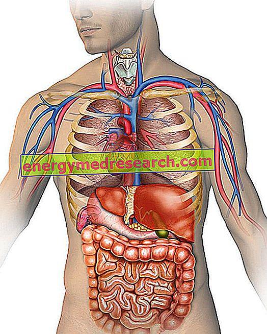 Situs inversus totalis, kun rintakehän ja vatsan elimet käännetään