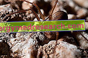 Viiul Spider Bite: Kas see on haua?  I.Randi sümptomid, tüsistused, hooldus ja ravi