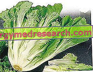 Endive - Belgian salad