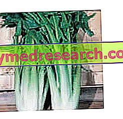 Chicory Catalonia - asparagus chicory