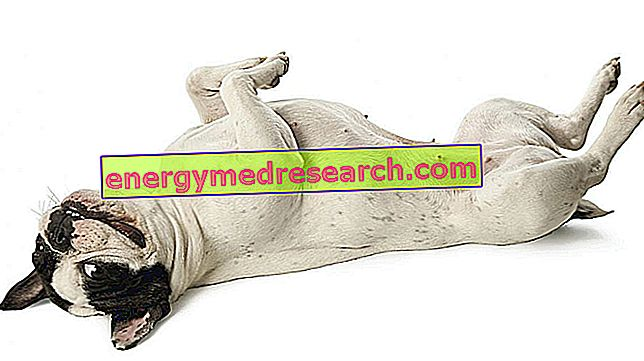 Притискане на стомаха: кучетата страдат ли се от гъделичкане?