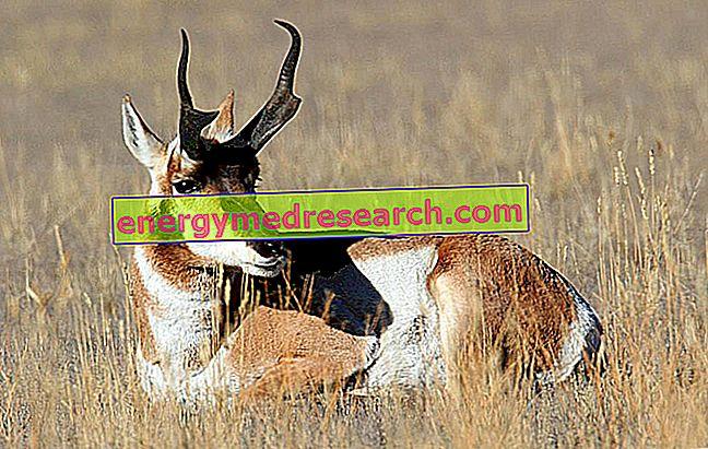 Antilocapra - Najbrža životinja na srednjoj i dugoj udaljenosti
