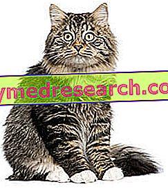 बिल्ली में फाइलेरिया
