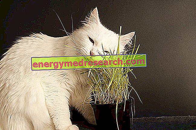 لماذا تأكل القطط العشب؟