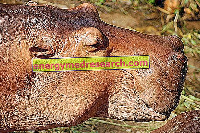 Kas hippopotamused higistavad verd?