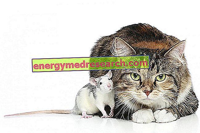 Toxoplasma gondii и суицидното наклоняване на мишката