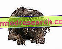 Leverziekten bij honden en dieren