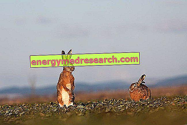 Кролик сорняков